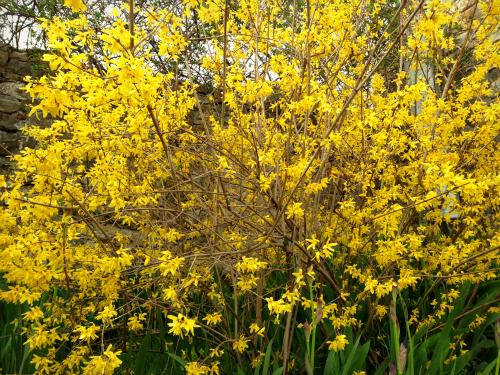 Spring_forsicia