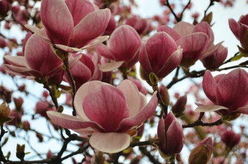 Spring_magnolia3